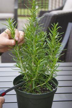 Replantio de ervas na horta