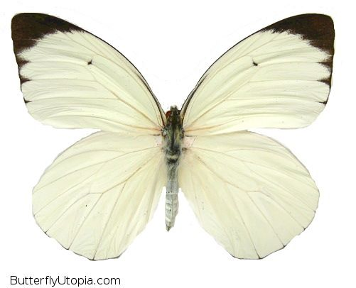 The White Glider is a solid white butterfly with black tips. Very striking in the table top. Origin: South America.