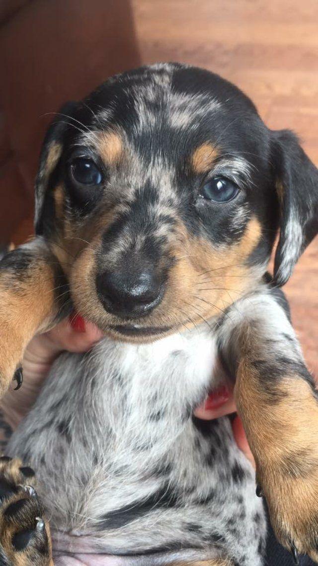 Miniature daschund puppies For Sale in Glossop, Derbyshire | Preloved
