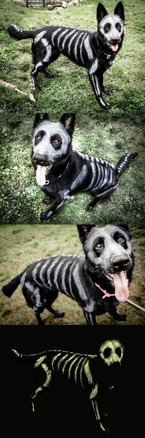 Skele-pooch is going to be glowing come Halloween! ~ black dog with pet-safe white color sketched on for bones | via Cheezburger