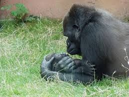 """Résultat de recherche d'images pour """"gorille blanc du zoo de barcelone"""""""
