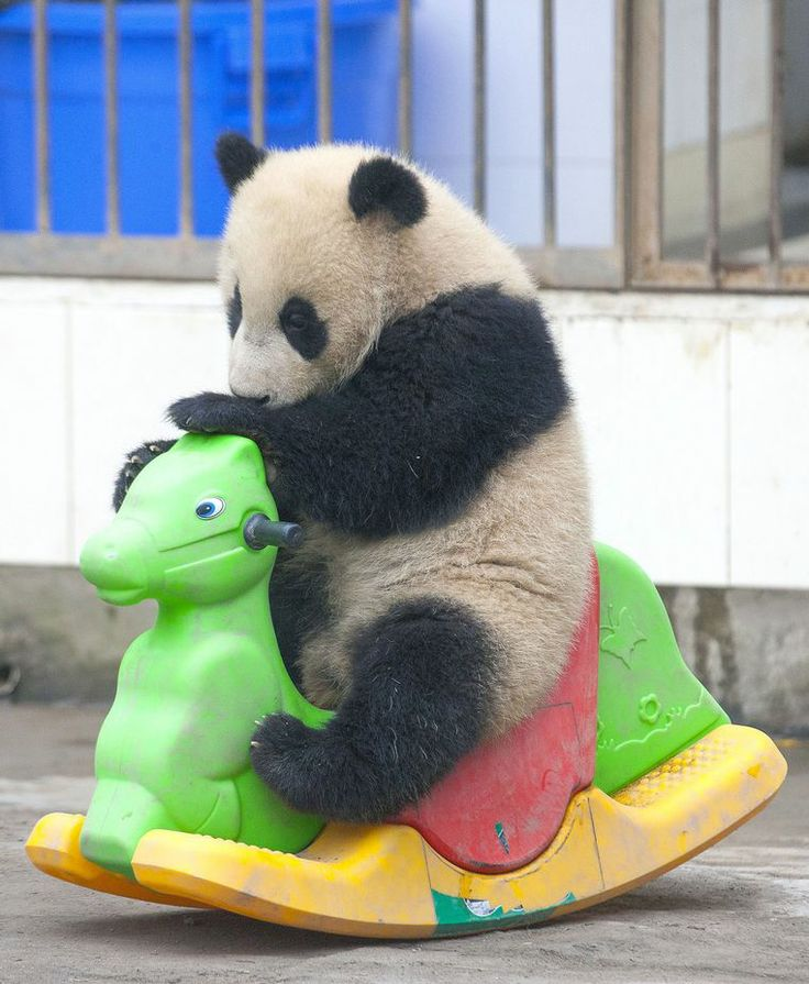 Off his rocker! Playtime is just panda-monium for this playful cub