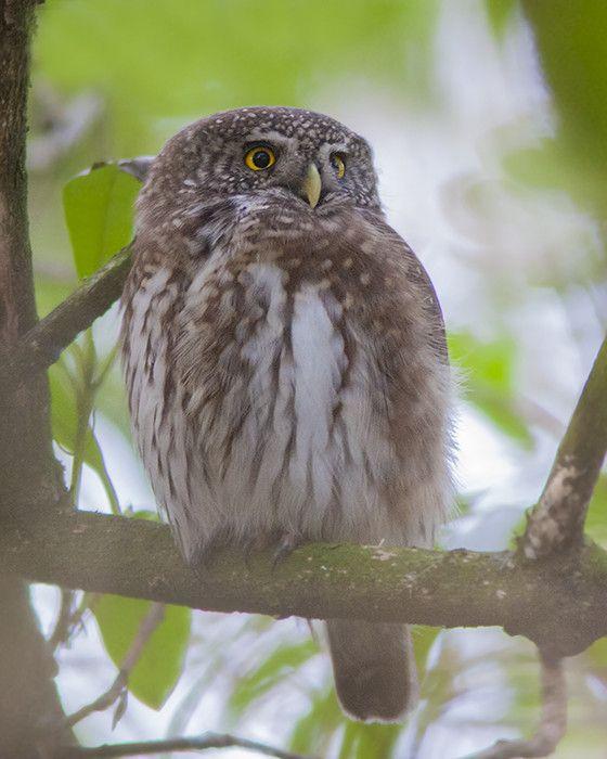 long eared owl essay
