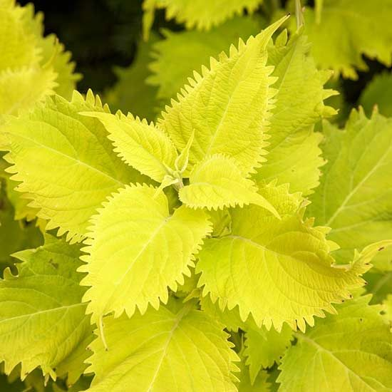 """Wasabi Coleus (Annual) - This coleus is sure to draw attention to any garden with its bold, chartreuse foliage. Plant 'Wasabi' as the """"thriller"""" in your thriller, spiller, filler container combo. See more of our annual faves: http://www.bhg.com/gardening/gardening-trends/editor-doug-jimerson-new-plants/"""