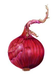 """Single Red Onion"" Colored Pencil by Carrie Di Costanzo"