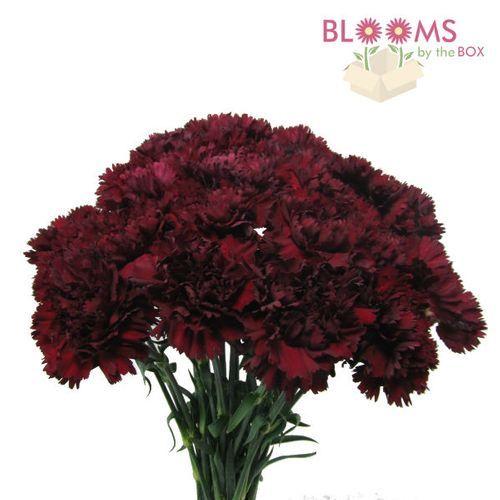 carnations burgundy fancy