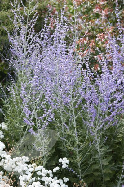 Russian Sage easy to grow become more vibrant as the season progresses.