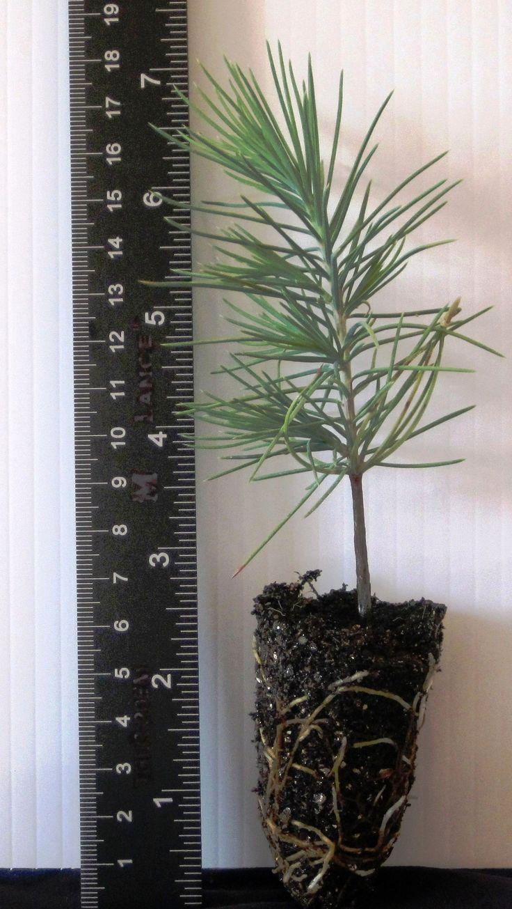 Cedrus deodara: Deodar Cedar (Plugs, 3″-6″)