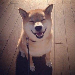 Shiba; Dog I want!