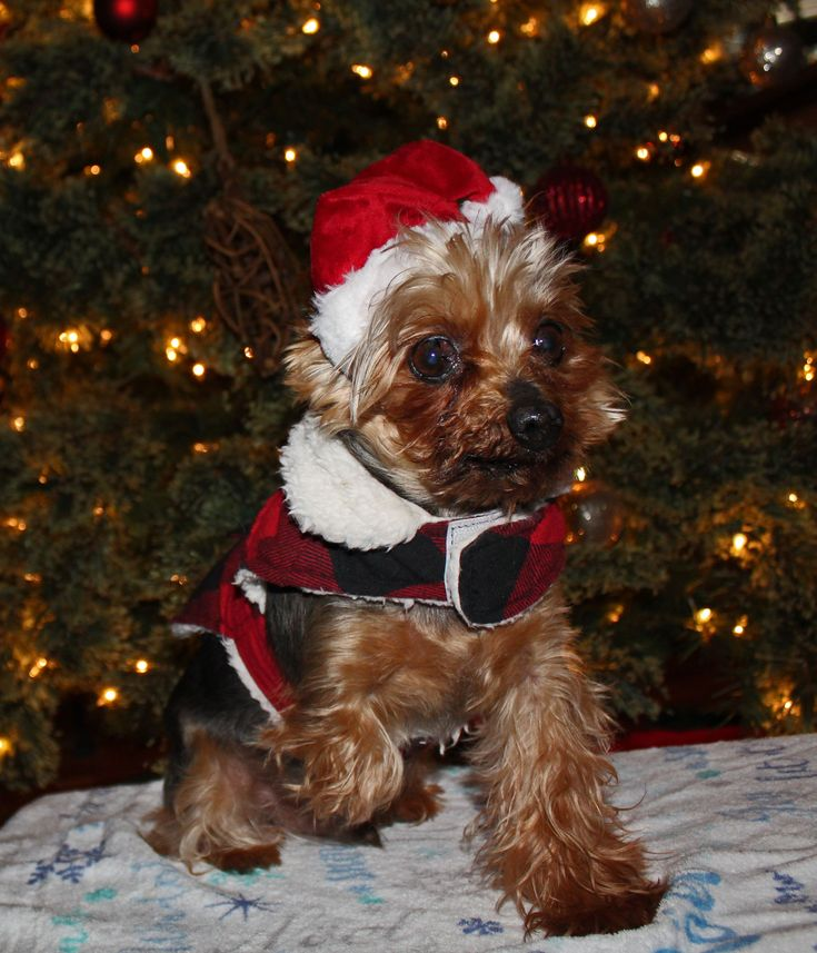 Augustus the Tiny Mighty Yorkshire Terrier Yorkie, puppy mill rescue, senior dog, toothless wonder, tripod, National Mill Dog Rescue, pulmonary hypertension, tiny, small, fur baby #Hypertension