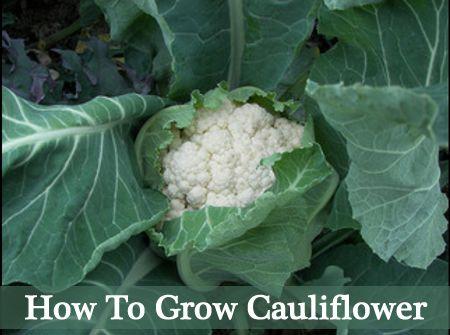 how to grow cauliflower the easy way garden