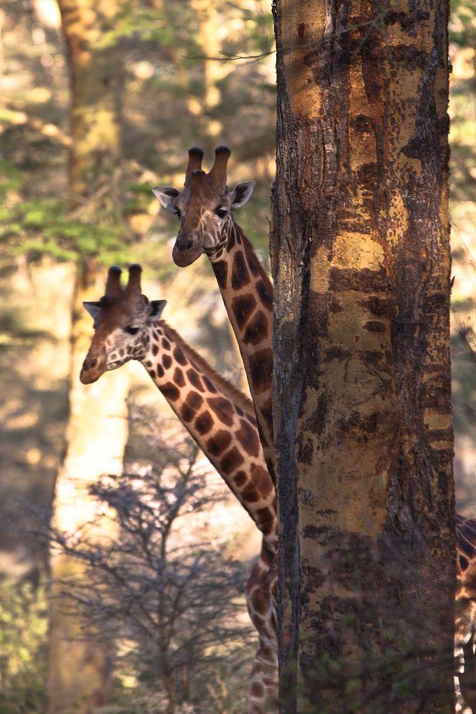 Africa | Giraffes photographed near Lake Nakuru, Masai Mara, Kenya | © Pekka Tikkanen