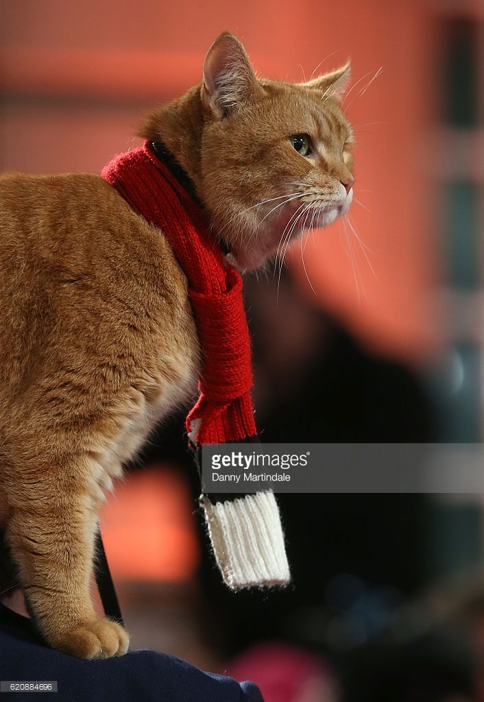 Bob the Cat attends UK Premiere of 'A Street Cat Named Bob' in aid of Action On Addiction on November 3, 2016 in London, United Kingdom.