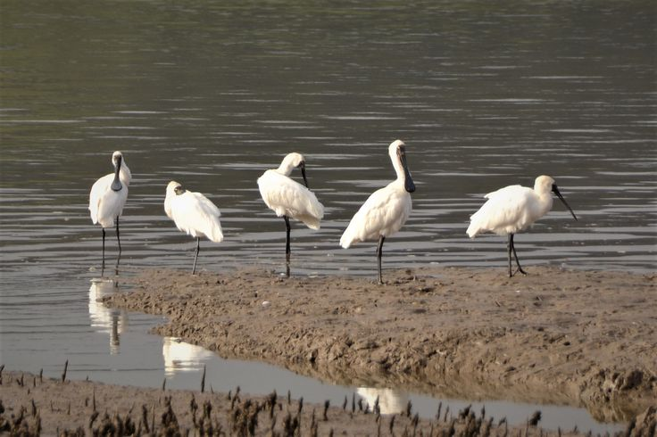 Royal Spoonbills at Kohukohu on the Hokianga Harbour. Photographed from the footpath on the main street