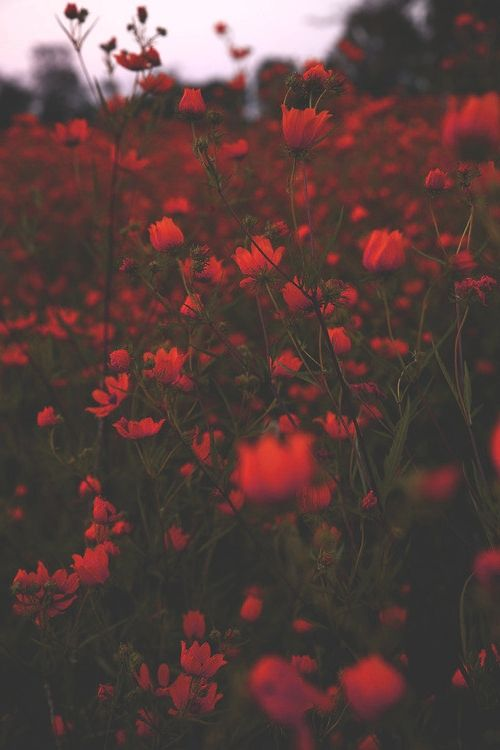 calantheandthenightingale.tumblr aux champs de fleurs rouges (red flowers)