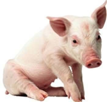 A Funny Thing Called Life: The Pig Story (this is a true story from a day in my life on my ( Carol Dison's) blog....if you need a laugh stop by and visit!!....  I'm just so tickled that my blog was pinned.... :)