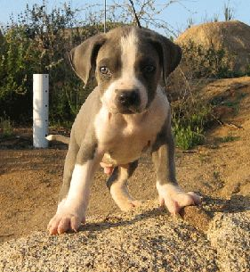 American PitBulls For Sale, Blue PitBull PUPPIES Pictures, PitBull Puppies For Sale,Pictures Of PitBulls,Blue Nose PitBULL PUPPIES FOR SALE,Brindel