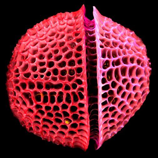 Una característica especial de este tipo de algas es que se hallan rodeadas por una pared celular única hecha de sílice (dióxido de silicio hidratado) llamada frústula.