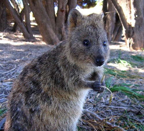 Rottness Island, Western Australia to see Quokkas