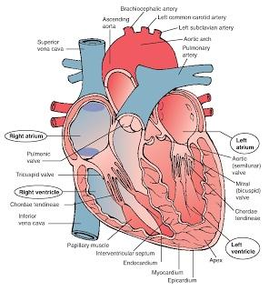 Heart Structure Diarams : DIAGRAMS