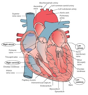 Heart Structure Diarams : DIAGRAMS
