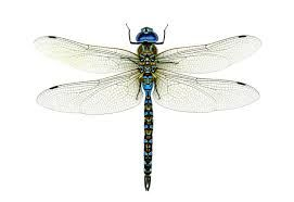 dragonfly - Google Search