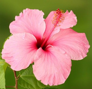 best hawaiian flowers images on, Beautiful flower