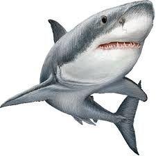 Resultado de imagen para tiburon blanco
