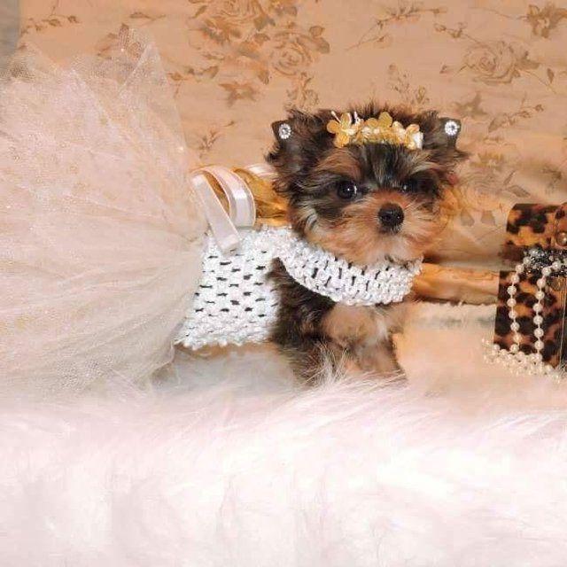 33 Best Teacup Yorkies Images On Pinterest Dog Breeders