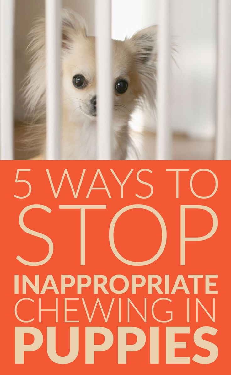 5 Ways to stop inappropriate chewing in puppies!