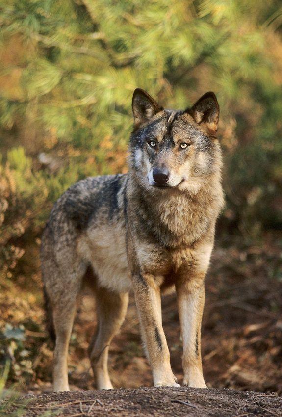 Lobo ibérico ❤