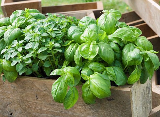 Les étapes et les variétés à choisir pour la culture du basilic en pot.