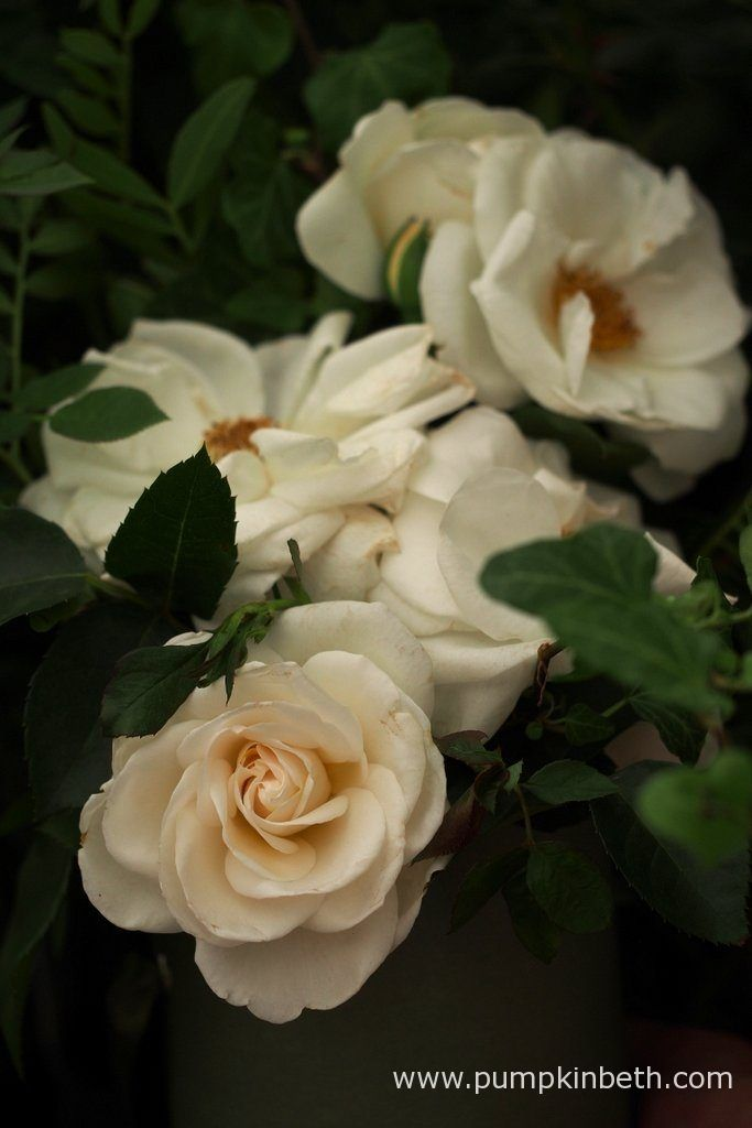 Rosa 'Little Angel'