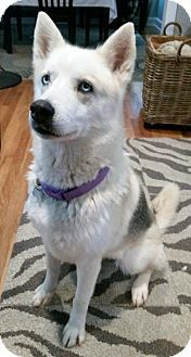Pictures of SIERRA a Siberian Husky for adoption in Waterbury, CT who needs a loving home.