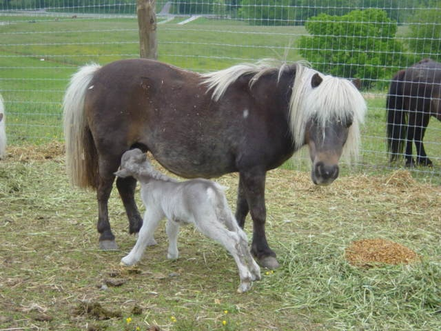 Best Miniature Horses Images On Pinterest Beautiful Black - Adorable miniature horses provide those in need with love and care