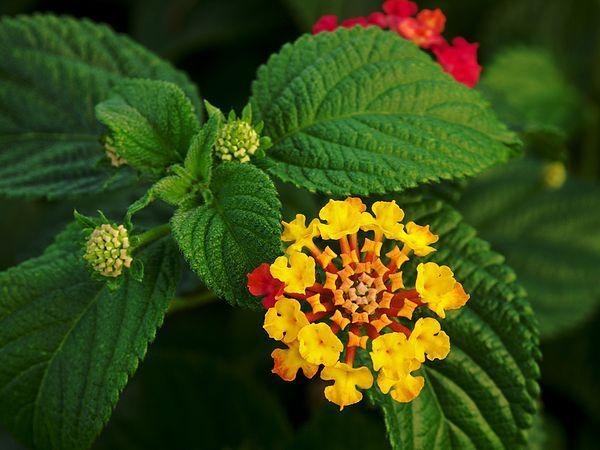ΛΑΝΤΑΝΑ Πρόκειται για θάμνο που τα κλαδιά της καλύπτονται με αγκάθια και η ανθοφορία της διαρκεί από τις αρχές του καλοκαιριού έως το τέλος του φθινοπώρου. Τα άνθη της στην αρχή είναι κίτρινα ή ροζ που γίνονται αργότερα πορτοκαλί ή κίτρινα.   Καλλωπιστικοί θάμνοι - Φυταγορά Σερρών