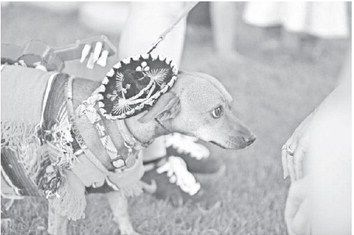 Petite Chihuahua a giant in popularity - The Arizona Republic