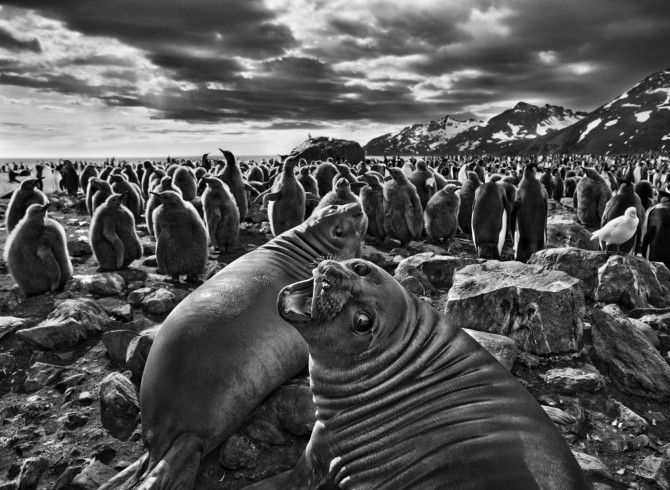 "On South Georgia, a barren island in the far South Atlantic, a pair of southern elephant seal calves beckon before a colony of king penguins. ""The male seals can grow to almost five tons,"" says Salgado, ""but these are just babies. This one looked at me with beautiful eyes."""