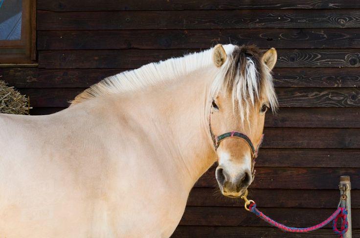 Rasa Fjord este una dintre cele mai vechi şi pure rase de cai. Calul din această rasă se aseamănă foarte mult cu caii pictaţi pe pereţii peşterilor în urmă cu zeci de mii de ani. Se crede că au fost prima dată domesticiţi în jurul anului 2 000 î.Hr. www.horseland.ro