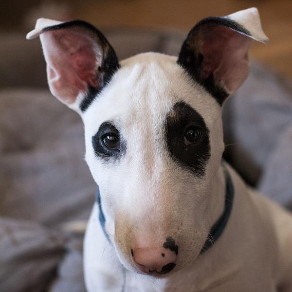 File:Bull Terrier1.jpg