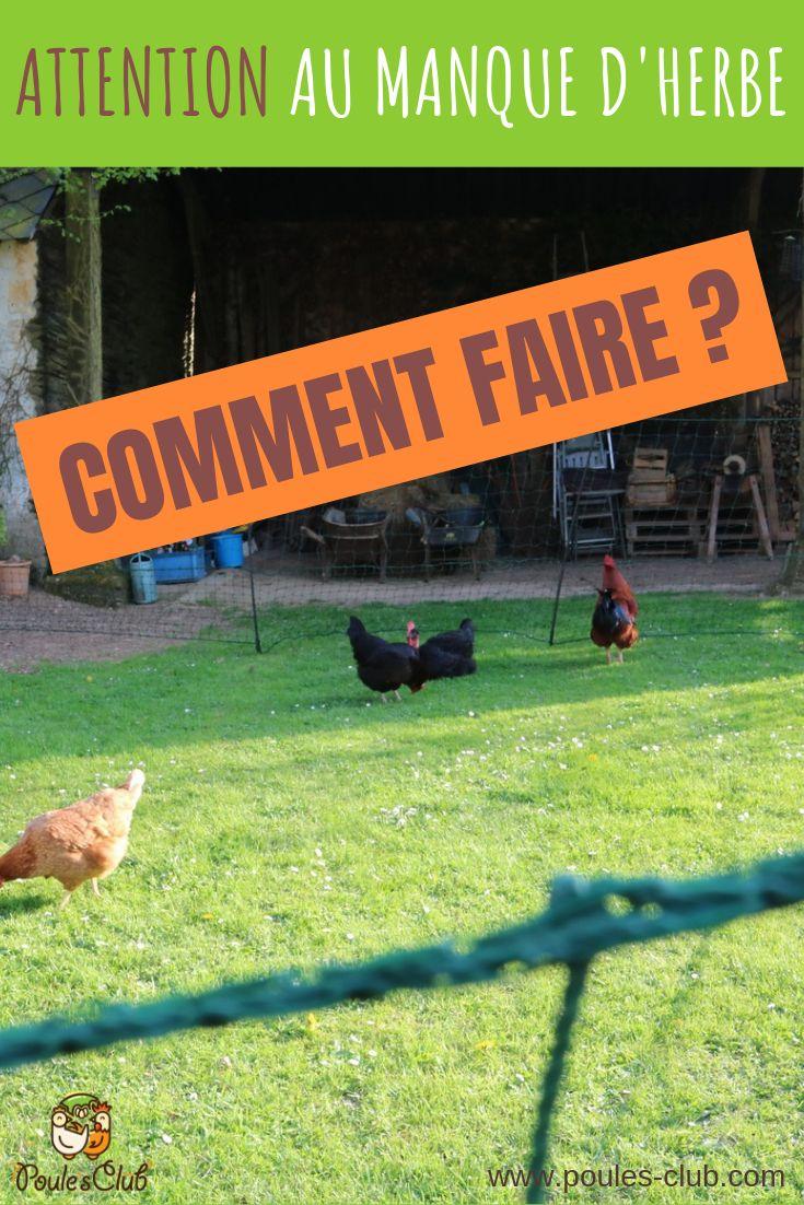 Plus herbe dans l'enclos de ses poules : answers