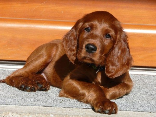Irish Setter Pup ~ Classic Look & Trim