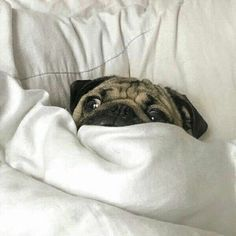 "😠""No #Monday, go away!""😢 www.jointhepugs.com/ #pug #pugpower #pugsnotdrugs #puglife #puglove #cuteness #pugs #puglover #dogs #animals"