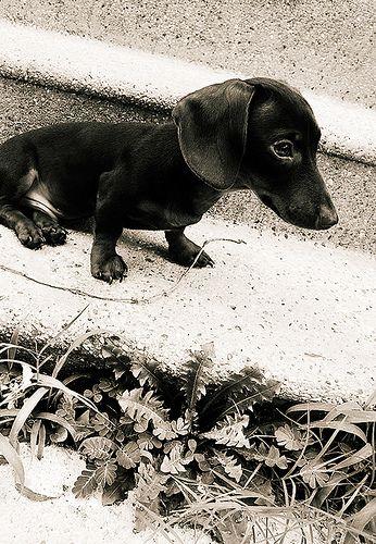Beautiful dachshund portrait.