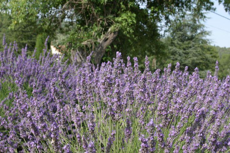 Levandule je vytrvalá rostlina, asi 60 cm vysoká. Sbírá se kvetoucí nať od 2. roku.  http://www.semena-rostliny.cz/bylinky-semena/4125-levandule-lkask-rostlina-lavandula-angustfolia-20-semen.html
