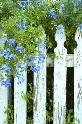Blue plumbago on a white picket fence.