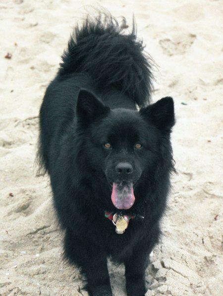 Collie Border Mix Aussie Puppies Shepherd