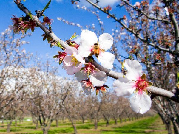 Dlaczego drzewa owocowe nie owocują