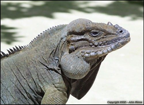 25 Best Rhino Iguana Reptar Images On Pinterest