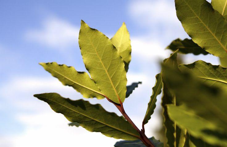 1/2 litro de agua 5 hojas de laurel Dejar que todo hierva y que se consuma a la mitad y dejar entibiar, agregar el jugo de 1/2 limón y beber cada vez